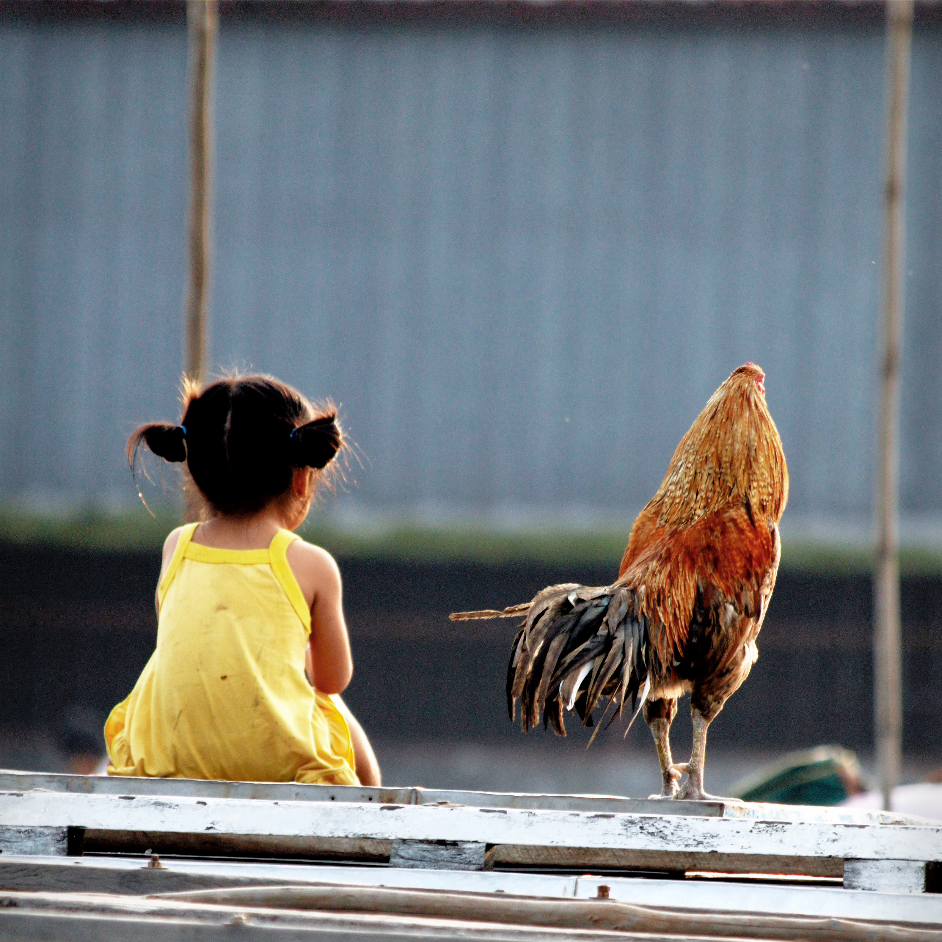Niña y gallo